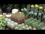 Cactus at diffrent stall flower show 2012.mp4