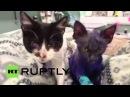 США: Смурфики фиолётовый котёнок получает новую жизнь в Калифорнии убежище.
