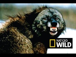 Черные волки. Волк одиночка. Альфа самец. Лучший охотник! Суперхищник! Nat Geo Wild HD