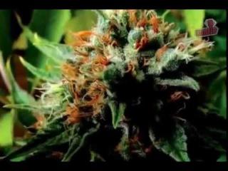 Что если марихуана лечит рак 2010 Русская озвучка,Конопляное масло