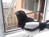 Сорока заразительно смеется и разговаривает как ребенок  Magpie laughs and talks like a child
