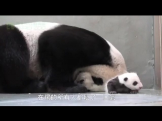 Baby Panda Meets Mom For First Time