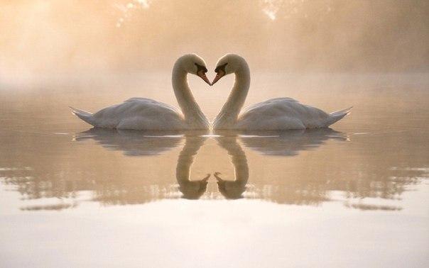 Любите друг друга, как лебеди...