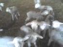 А ну ка овцы хором, хором я сказал...