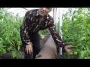 Мастер класс по выращиванию помидоров. Алькино Похвистневский район