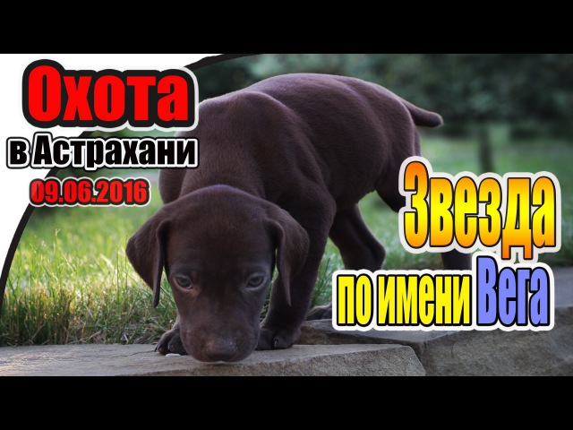 Охота в Астрахани с легавыми собаками. Курцхаар ВЕГА | Hunting in Astrakhan