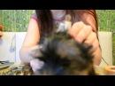Как клеить ушки йорку, как поставить ушки