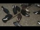 Смотреть всем!АСД Торцовые голуби