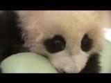 Маленькая смешная панда - жадина. Смешное видео про животных