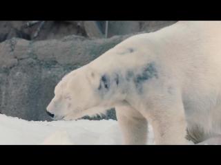 Полярным медведям привезли снег