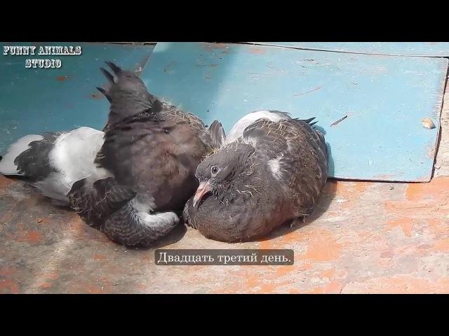 Голуби - Птенцы голубей от рождения до месяца - Голубиная сага - 9 серия