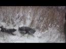 Охота на кабана с лайкой январь 2016