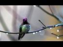 AVE MARIA by Leo Rojas - HUMMINGBIRD/SOUL BIRD