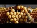 5. Почему в ранний период в улье наблюдается большое количество трутневого расплода. Пчеловодство.