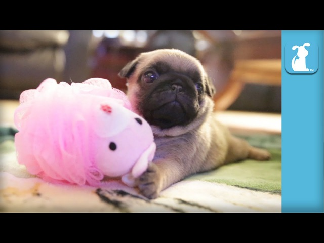 Silly Pug Puppy Uses a Loofah - Puppy Love
