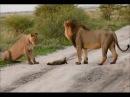 Львы увидели раненого лисенка и то, что сделала львица поразило вcех