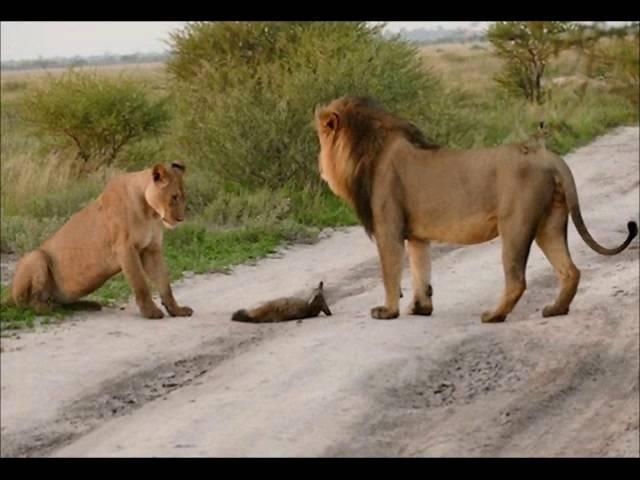 Львы увидели раненого лисенка и то что сделала львица поразило вcех