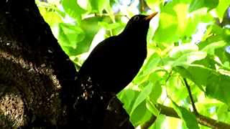 Пение черного дрозда