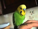 Говорящий попугай Гоша  говорит про гусей и бубусю