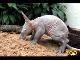 Baby Aardvark and Mom at Brookfield Zoo