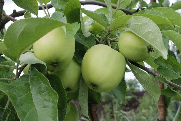 Почему яблони дают очень жесткие плоды и что делать?