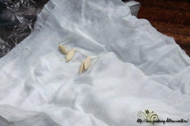 Выращивание огурцов в бочках, собственный опыт