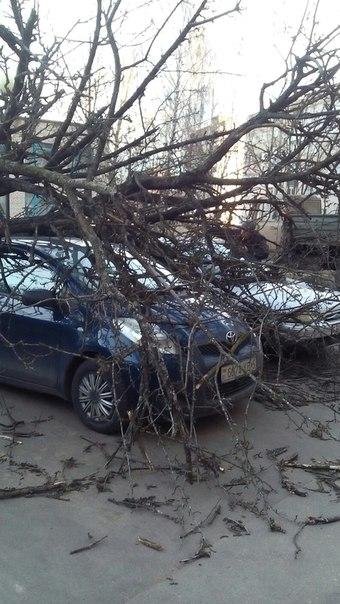 Во дворе 139 дома на улице Нормандия-Неман из-за сильного ветра упало дерево.