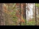 Cибирь останется без пихтовых лесов Заражённая тайга Специальный репортаж