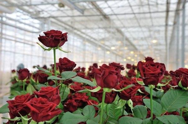 Выращивание роз в подмосковье 10