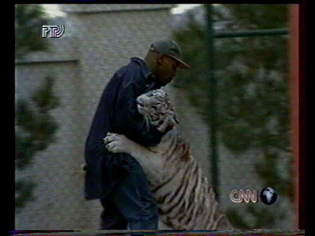 Майк Тайсон играет с тигром,Дон Кинг в шоке.Сюжет 1996 годMIKE TYSON AND HIS TIGER KENYA
