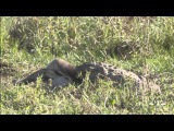 Борьба за еду крокодила и леопарда (Kulu Safaris - Leopard Vs Crocodile on a kill)