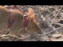 Крысы сапёры избавляют Камбоджу от мин новости