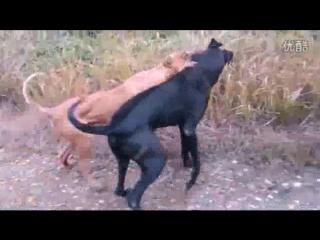 Great Dane VS bully kutta (немецкий дог булли кутта Собачьи бои)
