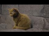 Котята девочки BRI помет