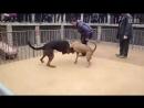 Питбуль Vs Китайская красная овчарка (Fighting Dogs) Собачьи бои: Pitbull против Chinese red shepherd