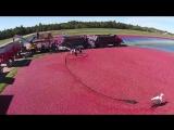 Красивое видео о том, как собирают клюкву