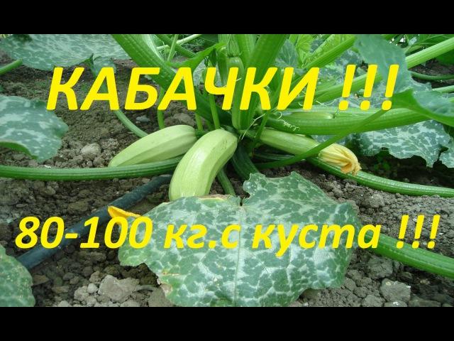 Как вырастить 80-100 кг кабачков с куста, с ранней весны, и до поздней осени