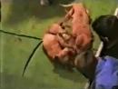 Собачьи бои питбуль терьер GR CH Mayday