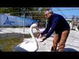 altapress.ru Как лебедь Жорка жалуется директору барнаульского зоопарка