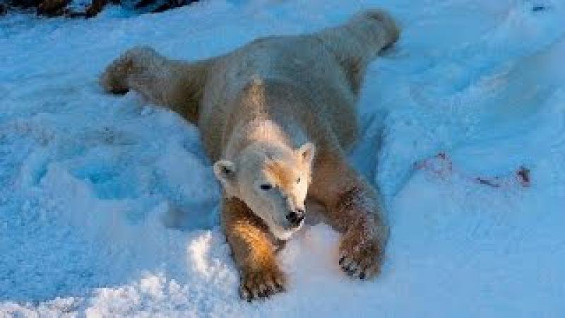 Polar Bears Play in Snow