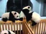 ИГРИВЫЕ ПАНДЫ МАЛЫШИ!!! приколы!!! PANDA PLAY !!! fun !!!