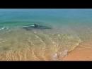 КРЫМ!!! Феодосия! Дельфин охотится на берегу. Такую красоту редко увидишь