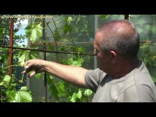 Технология выращивания винограда -- ч.7