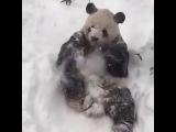 Панда в национальном парке США пришла в восторг от снега