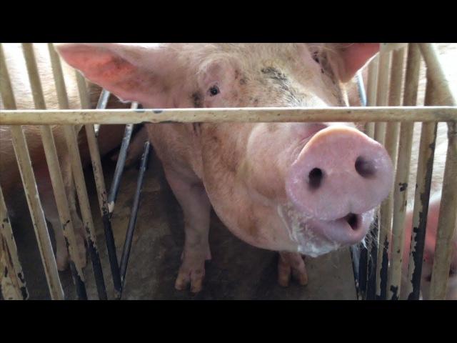 Shocking Animal Cruelty at Tyson Foods Supplier
