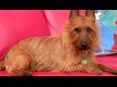 Порода собак. Австралийский терьер.Красивая лохматая собака. Компаньон и верный друг.