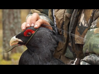 Глухарь: отлов, мечение, радиослежение. Western capercaillie: catching, tagging and tracking.