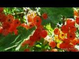 Раиса Саед-Шах. Самый ягодный сезон.