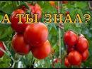10 ошибок при выращивании помидоров