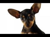 Той-Терьер спит Toy Terrier (Black & Tan Terrier). Ржу не могу. Смешное видео.